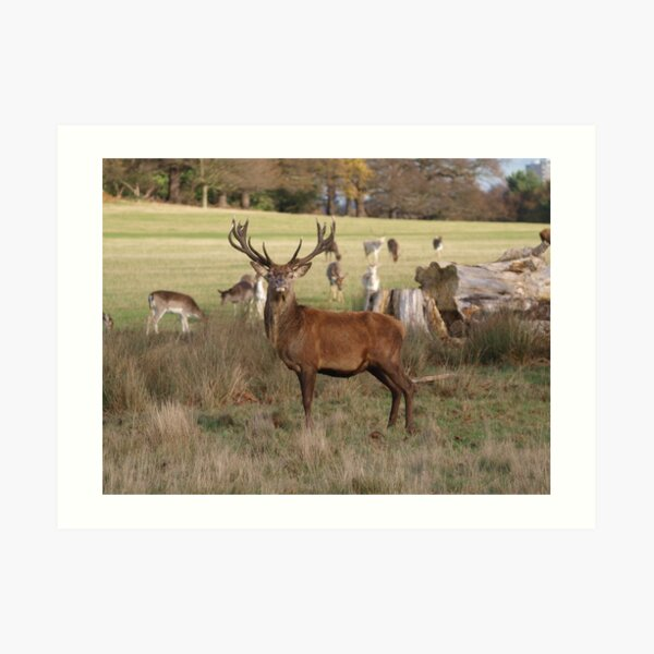 The Confident Red Deer Art Print