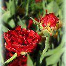 Double Tulip by Olga