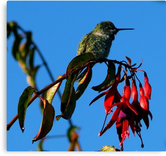 #235  Hummingbird Perched On Fuschia  #2 by MyInnereyeMike
