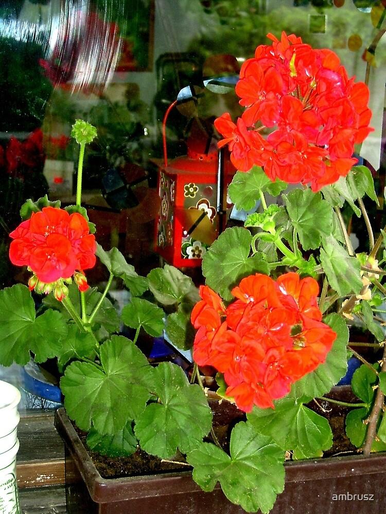 Red geranium by ambrusz