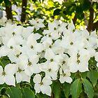 «Porque la primavera - floraciones Dogwoods» de Georgia Mizuleva