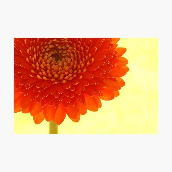 Orange Chrysanthemum Photographic Print