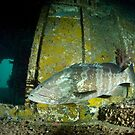 Large grouper inside the wreck of the HMAS Brisbane off Mooloolaba by Stephen Colquitt
