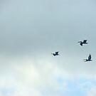 Pelicans in Flight by photorolandi