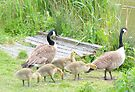 Canada geese and chicks. by Livvy Young