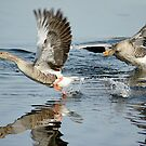 Greylag Geese by FraserJ