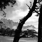Pine Trees in the Corsican Mountains (France). by VanOostrum