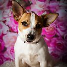 CILLA / Jack Russell  by Peggy Colclough