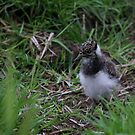 Northern Lapwing Chick by Anne-Marie Bokslag