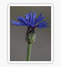 Pegatina blauwe koren bloem