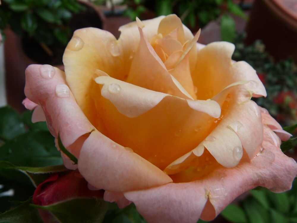 Concert in pink: Springtime rose after the rain by presbi