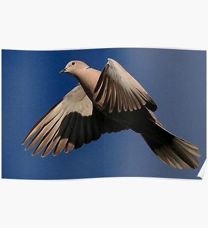 The Collared Dove Poster