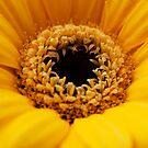 Yellow gerbera by Squealia