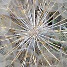 Dandelion Head by Alison Malcolm Flower