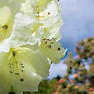 Rhododendron  by DIANE  FIFIELD