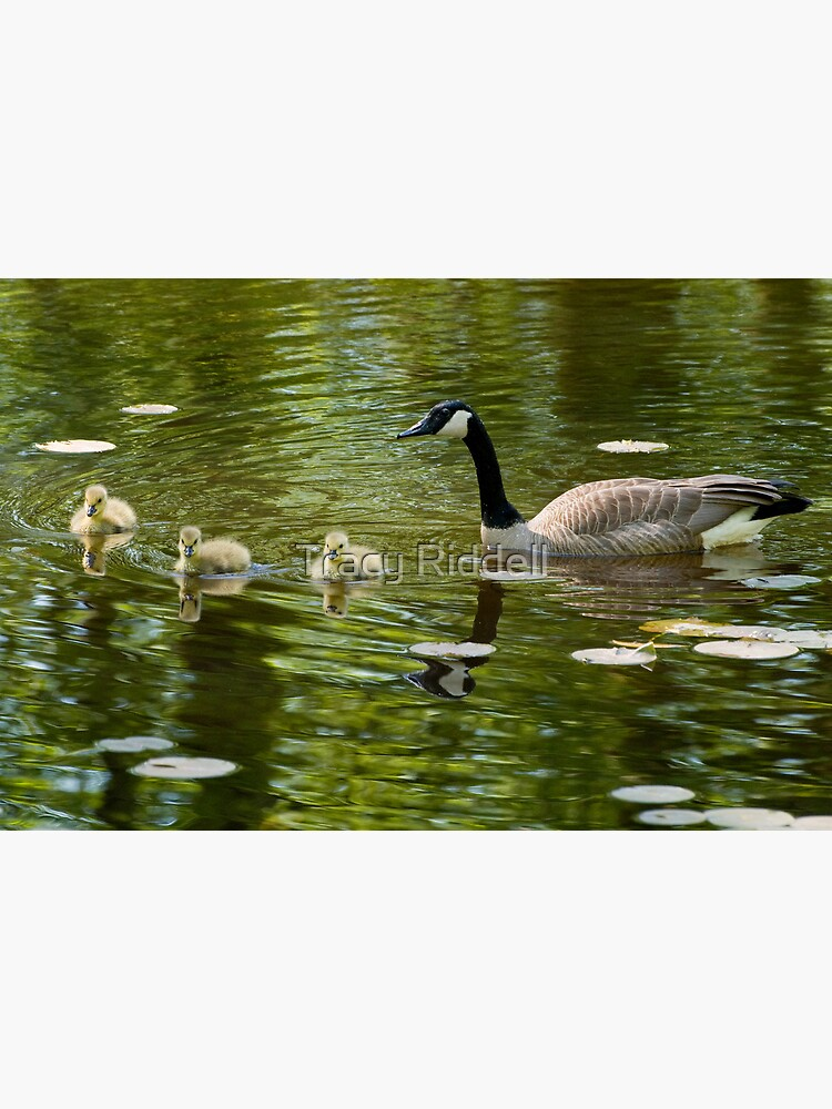 Mom and Goslings by taos