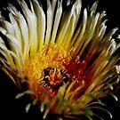 Iceplant flower by loiteke