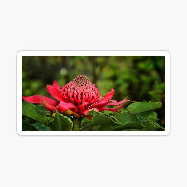 Waratah - A Symbol of Australia in Spring Sticker