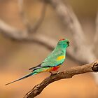 Mulga Parrot by SusanAdey
