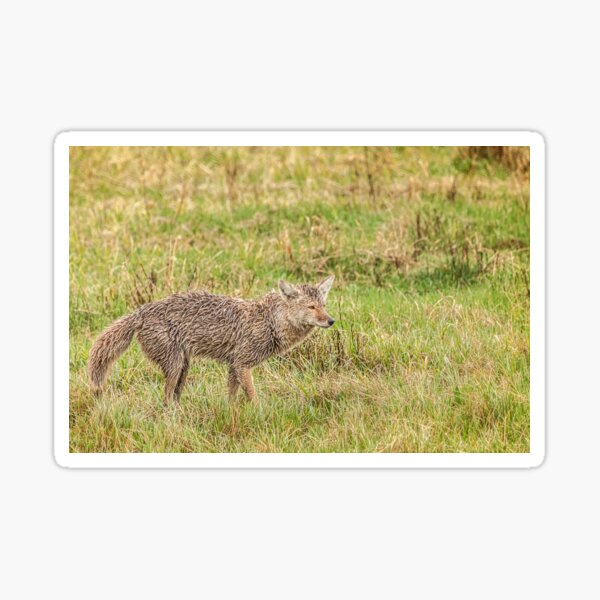 Coyote wet, wild and woolly Sticker