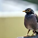 A fat bellied Myna by rickvohra
