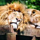 Lions Sleeping by knelstrom