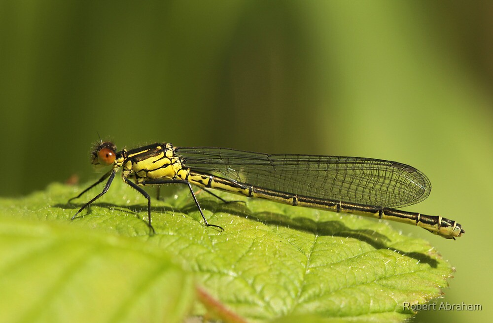 Female Red-Eyed Damselfly by Robert Abraham
