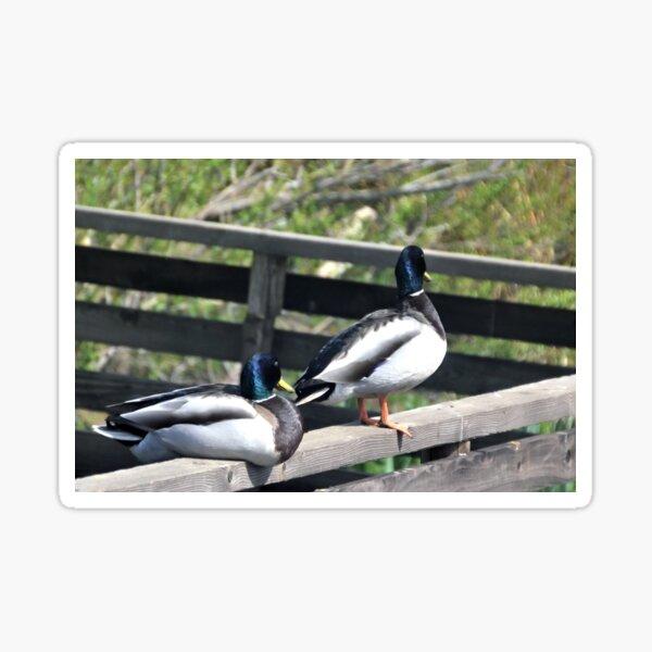 Double Ducks at Abbotsbury Dorset UK Sticker