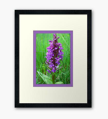 Dactylorhiza maculata Framed Print