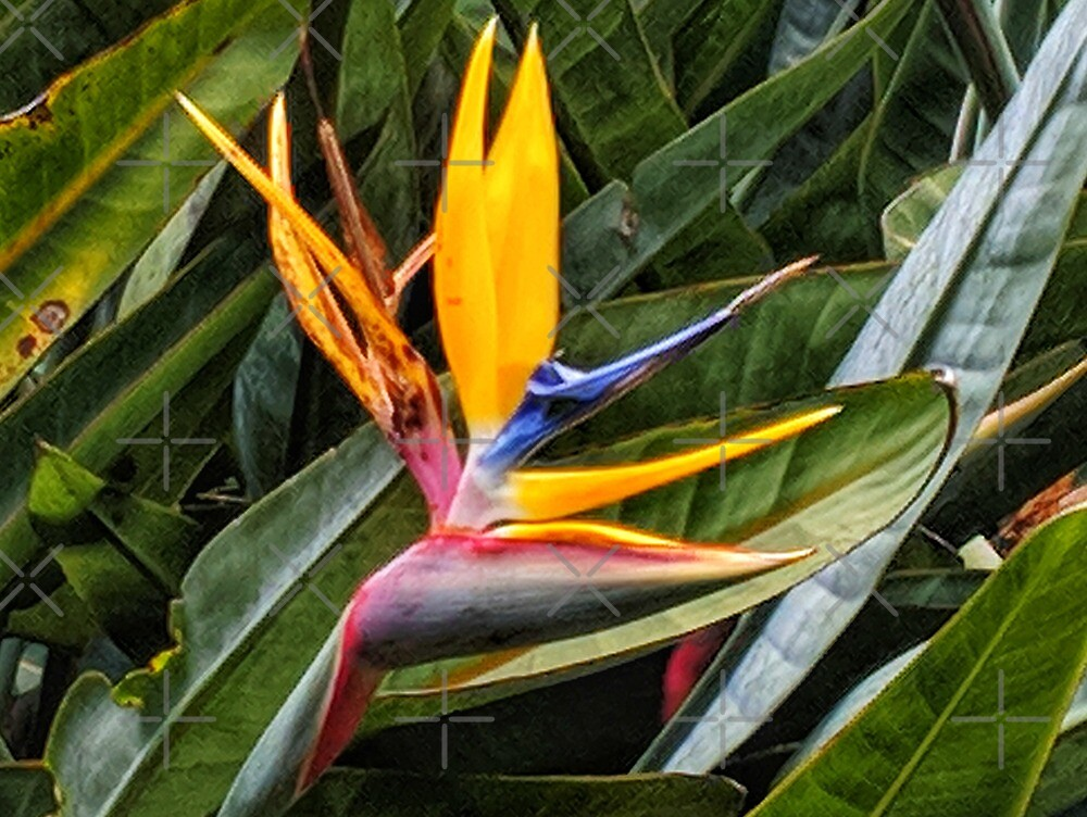 Bird of Paradise by Angela Ferguson