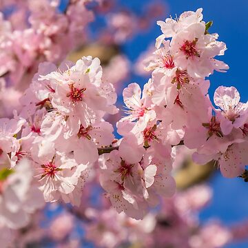 Cherry blossom by fourretout