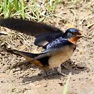 Barn Swallow by Erik Anderson