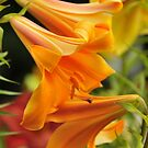 """Trumpet Lily """"African Queen"""" by Michael Cummings"""