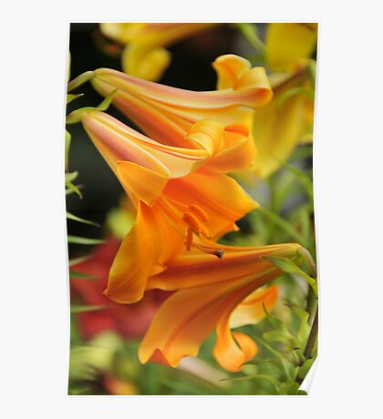 "Trumpet Lily ""African Queen"" Poster"