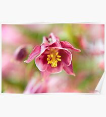 Blossom of a Aquilegia in Purp Poster