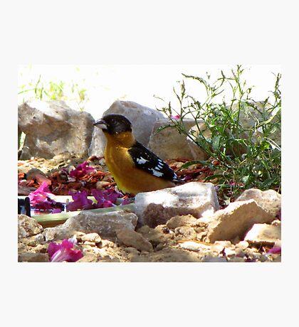 Black-headed Grosbeak ~ Male (breeding) Photographic Print