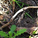 Vegetable Caterpillar (Cordyceps gunnii)  by Bev Pascoe