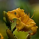 Daylilies - Flower for a Day by Michael Cummings