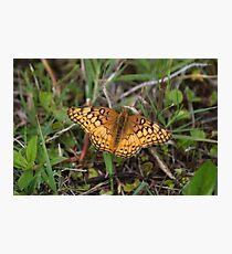 Mexican Fritillary (Euptoieta hegesia) Photographic Print