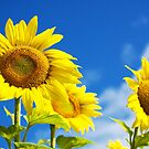 Sunflowers by Sarah Moore