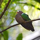 Asian Emerald Dove by KylaStanAuthor