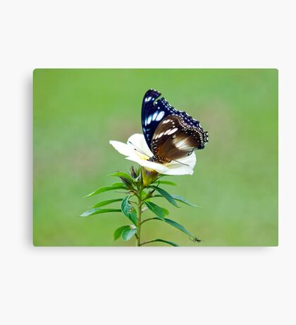 Hypolimnas bolina - common eggfly butterfly Canvas Print