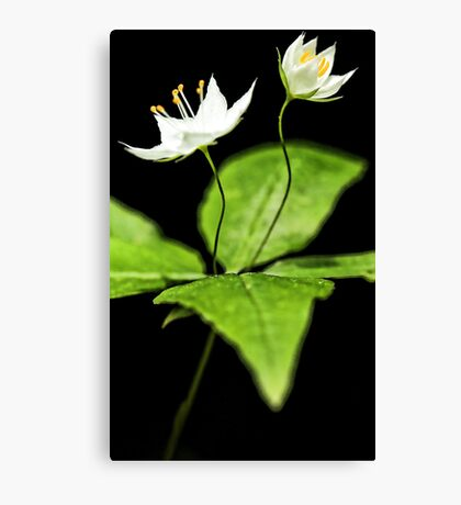 -Starflower at Sunset Canvas Print