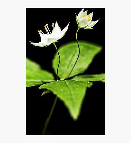 -Starflower at Sunset Photographic Print