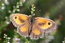Gatekeeper Butterfly by John Keates