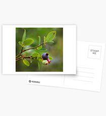 Wild Huckleberry Postcards