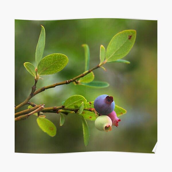 Wild Huckleberry Poster