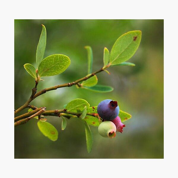 Wild Huckleberry Photographic Print