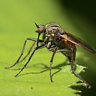 Fly - Empis tesselata by Robert Abraham