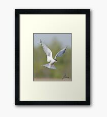The Common Tern 01 Framed Print